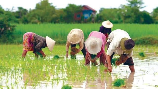 ທົ່ວປະເທດປັກດໍາເຂົ້ານາແຊງສໍາເລັດແລ້ວ 19% - rice - ທົ່ວປະເທດປັກດໍາເຂົ້ານາແຊງສໍາເລັດແລ້ວ 19%