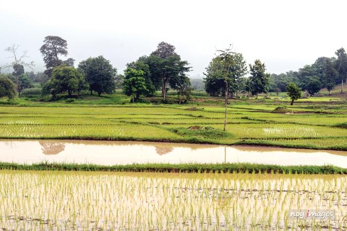 ທົ່ວປະເທດປັກດໍາເຂົ້ານາແຊງສໍາເລັດແລ້ວ 70% - Plant rice - ທົ່ວປະເທດປັກດໍາເຂົ້ານາແຊງສໍາເລັດແລ້ວ 70%