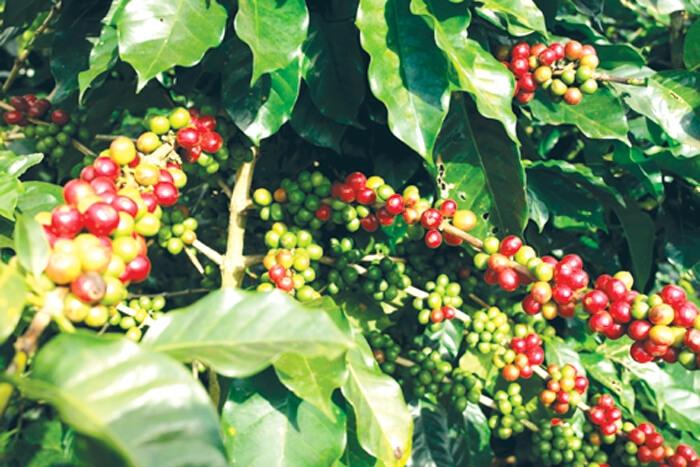 - Travel Laos Paksong coffee plants - ບໍລິສັດກາດເກ້ລາວເຊກອງສາມາດສົ່ງອອກກາເຟໄດ້ຫລາຍກວ່າ 1.000 ໂຕນເປັນປີທໍາອິດ
