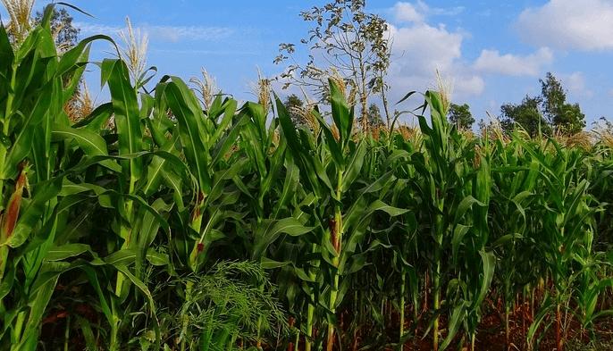 - corn3 - ຫົວໜ້າຄະນະໂຄສະນາອົບຮົມສູນກາງພັກ ຢ້ຽມຢາມ ບ້ານໃຫຍ່ພັດທະນາ ບວມເລົາ-ຜາແກ້ວ