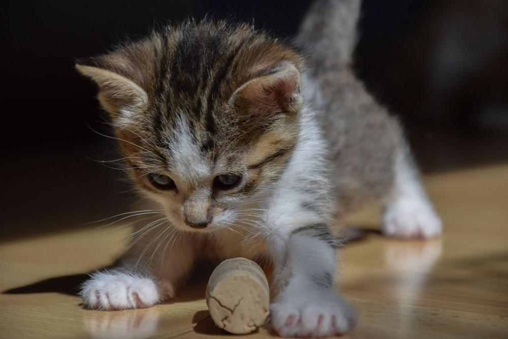 ໂຄງການເຮັດໝັນ ໝາ ແລະ ແມວໂດຍບໍ່ເສຍຄ່າ ຄັ້ງທີ 2 ຈະຈັດຂຶ້ນໃນວັນທີ 1-3 ພະຈິກນີ້ - 1200px 1 month old kitten 43 1024x683 - ໂຄງການເຮັດໝັນ ໝາ ແລະ ແມວໂດຍບໍ່ເສຍຄ່າ ຄັ້ງທີ 2 ຈະຈັດຂຶ້ນໃນວັນທີ 1-3 ພະຈິກນີ້